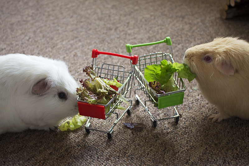Both guinea pigs having a snack out of their mini trollies