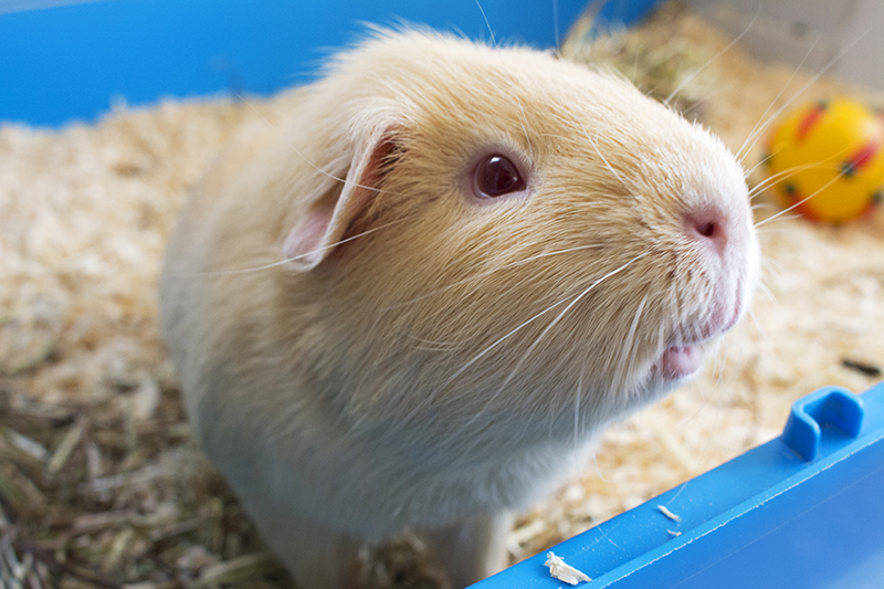 Light brown long haired guinea pigs looking into the lens for a lovely photo