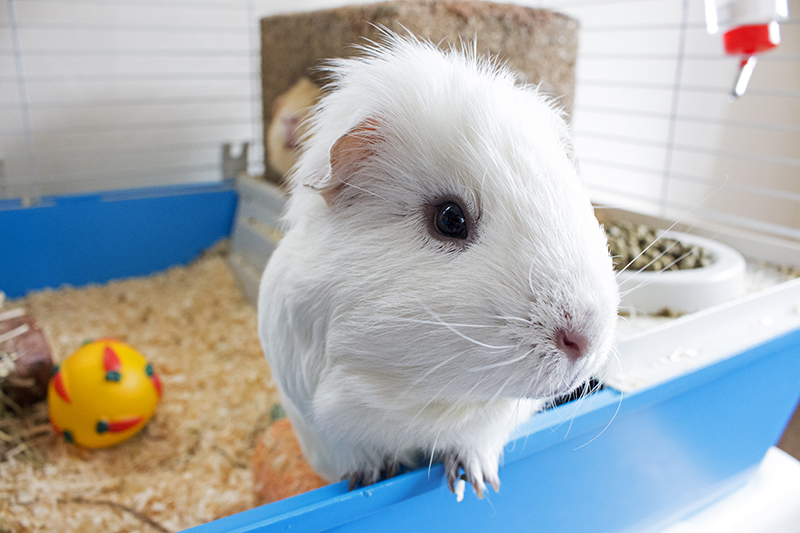 White, long haired guinea pigs looking into the lens for a lovely photo